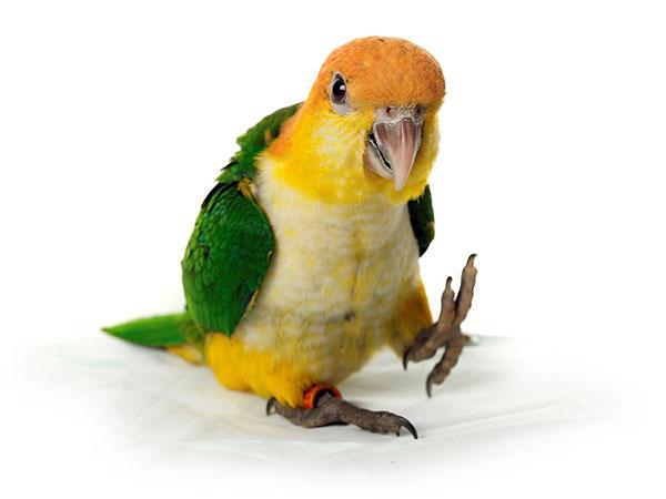 Welke vogel is geschikt als huisdier