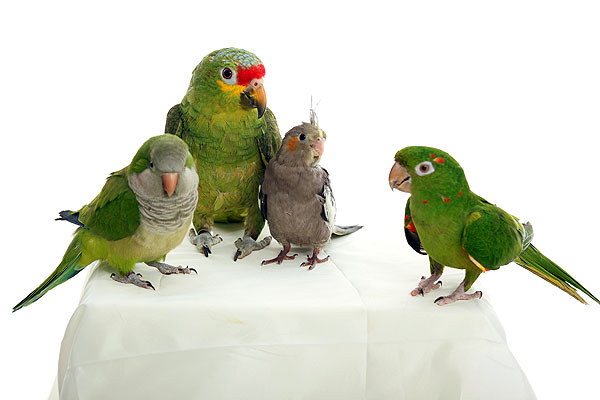 Alles Over Je Woonomgeving Op één Site: Papegaai, Tamme Vogels. Alles Over Papegaaien En Parkiet